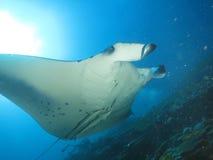 Manta ray maldives. Maldives reef manta ray scuba diving 2015 by walter schmit royalty free stock images