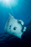 Manta Ray - Manta Alfredi stock images