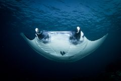 A Manta ray - Manta alfredi royalty free stock photos