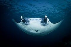 A Manta ray - Manta alfredi royalty free stock photos