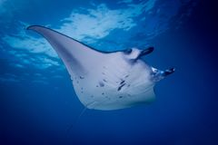 A Manta ray - Manta alfredi royalty free stock photography