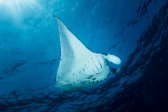 Manta Ray - Manta Alfredi stock photo