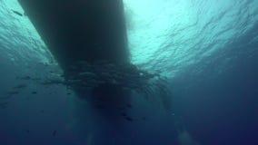 Manta Ray Manta birostris and divers in El Boilier rock near Sanbenedicto island from Revillagigedo Archipelago stock video