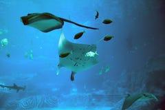 Manta Ray. In ocean, under water photo stock photo