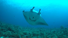 Free Manta Ray On A Coral Reef Stock Images - 75735254