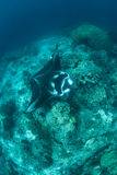 Manta Ray Over Reef arkivbilder