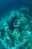 Manta Ray Over Reef Immagini Stock