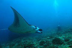 Manta Ray Over Reef Royaltyfri Bild