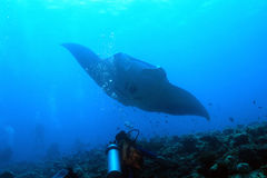 Manta Ray over Reef. Manta Ray (Manta Birostris) Approaching over the Reef, with Diver in Foreground, South Ari Atoll, Maldives royalty free stock photo