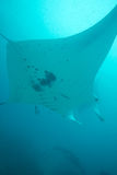 Manta ray overhead. A manta ray flies overhead as it is cleaned Royalty Free Stock Images