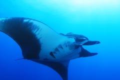 Manta Ray på Socorro Island, Mexico Arkivfoton
