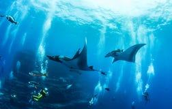 Manta Ray. Picture shows a Manta Ray at Islas Revillagigedo stock image