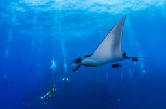 Manta Ray. Picture shows a Manta Ray at Islas Revillagigedo Royalty Free Stock Images