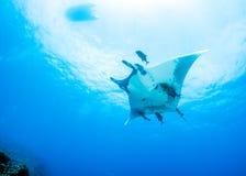 Manta ray Stock Photos