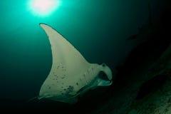 Manta ray playground. Manta ray or manta birostris royalty free stock photos