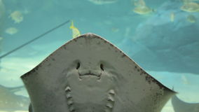 Manta Ray. Playing in aquarium stock video