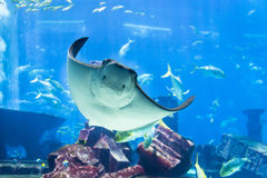 Manta Ray Poses for Portrait at Public Aquarium Stock Photos