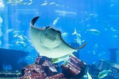 Manta Ray Poses voor Portret bij Openbaar Aquarium stock foto's