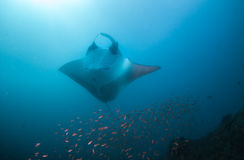 A manta ray posing belly-up for a photograph Stock Images