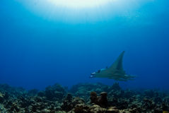 Manta ray on reef. Manta ray on coral reef with sun Royalty Free Stock Image