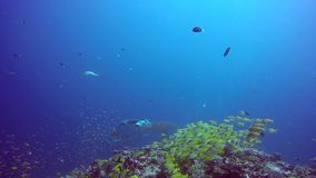 Manta ray relax on background of underwater school fish in ocean Maldives. stock footage
