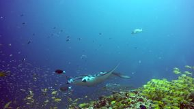 Manta ray relax on background of underwater school fish in ocean Maldives. Sea dweller in search of food. Stingray feeds on mollusks and small fish. Diving in stock video