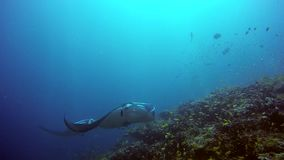 Manta ray relax on background of underwater school yellow fish in Maldives. stock footage