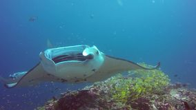 Manta ray relax in striped snapper school fish seabed underwater in ocean. stock footage