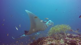 Manta ray relax in striped snapper school fish seabed underwater in ocean. stock video
