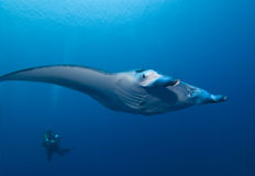 Manta Ray and SCUBA Diver Stock Image