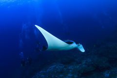 Manta Ray and scuba divers. Manta Ray swims over reef in Similan Islands, Thailand with group of scuba divers Royalty Free Stock Images