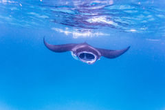Manta ray Royalty Free Stock Photography