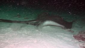 Manta ray in search of food on clean clear seabed underwater sea of Maldives stock footage