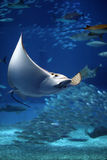 Manta ray seeming to fly underwater. A giant manta ray seems to fly underwater among other fish in Okinawa, Japan Royalty Free Stock Photography