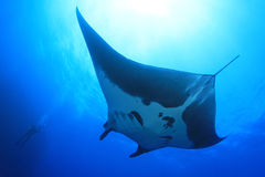 Manta Ray at Socorro Island, Mexico Royalty Free Stock Photos