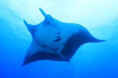 Manta Ray at Socorro Island, Mexico Royalty Free Stock Image