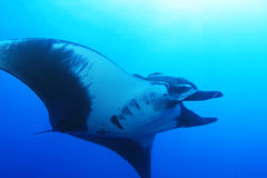 Manta Ray at Socorro Island, Mexico Stock Photos