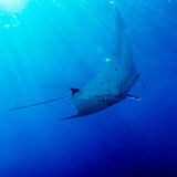 Manta Ray with Sun Rays near Sea Surface Stock Images