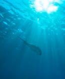 Manta Ray with Sun Rays near Sea Surface Stock Image