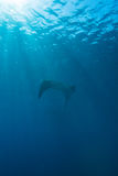 Manta Ray with Sun Rays near Sea Surface. Swimming Big Manta Ray with Sun Rays near Sea Surface, Balinese diving, Indonesia royalty free stock image