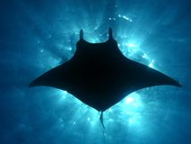 Manta ray sunburst. Manta ray silhouette with the suns rays bursting through the surface of the ocean. a small remora trails behind the flying underwater giant stock image