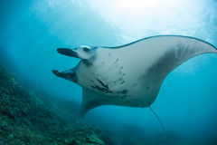 Manta Ray and Sunlight. A large manta ray (Manta alfredi) swims over a reef near Bali, Indonesia. This region harbors high marine biological diversity Stock Images