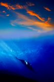 Manta Ray in the sunset Stock Images