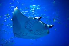 Manta ray stock images