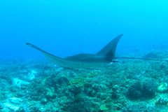 Manta ray swimming above coral reef stock images
