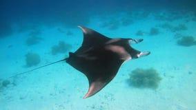 Manta Ray. A Manta Ray swimming along the reef stock photo