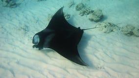 Manta Ray. A Manta Ray swimming along the reef, feeding royalty free stock photo