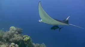 Manta Ray swimming in blue Ocean. Sea Marine Life. Amazing, beautiful underwater world Bali Indonesia and  life of its inhabitants, creatures and diving stock footage