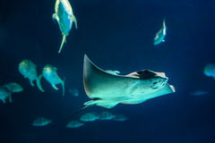 Manta Ray. Swimming Manta Ray - Cephalopterus manta Stock Image
