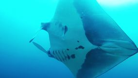 Manta ray swimming overhead in Raja Ampat, Indonesia. Big beautiful oceanic manta ray swimming overhead and past us into the blue in Raja Ampat, Indonesia stock video footage